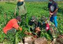 Koramil 0811/20 Grabagan Tuban Lakukan Karya Bakti Tanam Pohon Flamboyan Di Boro Kembang Ds. Waleran